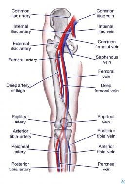 Lower extremity vascular anatomy.