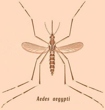 Drawing of Aedes aegypti mosquito. Courtesy of the