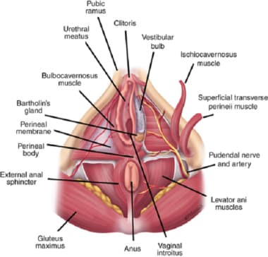 Muscles of the pelvic floor. Courtesy of McGraw-Hi