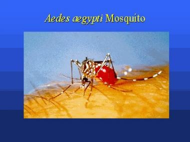 Aedes aegypti mosquito. Picture from the Centers
