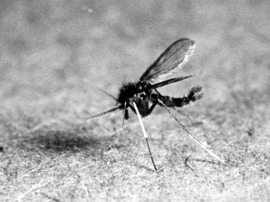 Sandfly. Courtesy of Kenneth F. Wagner, MD.