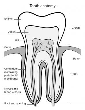 Anatomy of tooth.