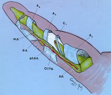 Schematic volar view of a finger. Note that betwee