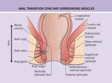 Anatomy of anal transition zone and surrounding mu