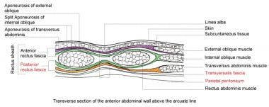 Transverse section of the anterior abdominal wall