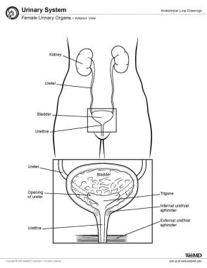 Female urinary organs, anterior view.