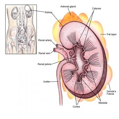 Kidney anatomy overview gross anatomy microscopic anatomy renal anatomy renal fascia ccuart Image collections
