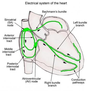 Conduction system of the heart overview gross anatomy natural schematic illustration of the cardiac conduction s ccuart Gallery