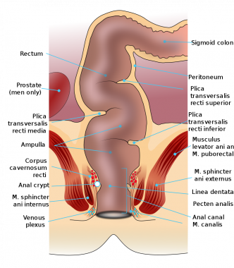 Rectum and anal canal anatomy. Courtesy of Wikimed
