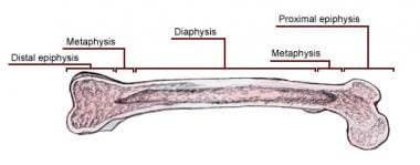 Zones of mature long bone.