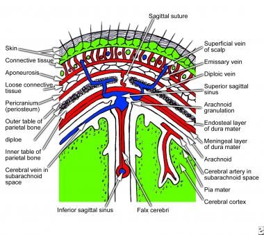 Coronal section of scalp that shows layers of the