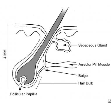 Anatomy of the hair follicle.
