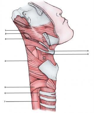 Throat, external lateral view.