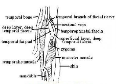 Cross section illustrating anatomy of temporal reg