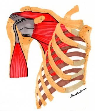 Rotator cuff, normal anatomy.