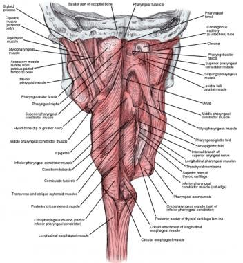 Muscles of the pharynx, partially opened posterior