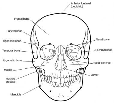 Forehead Anatomy: Surface Anatomy, Bones of the Forehead