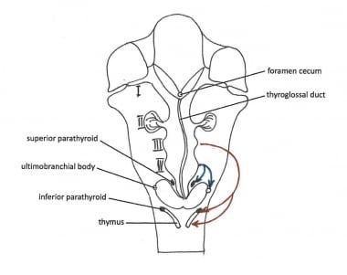 Descent of the thyroid and parathyroids.