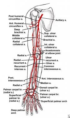 Arterial anatomy of the upper extremity. a = arter