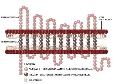 Rh antigen diagram. Image created by Jaye Parsley.