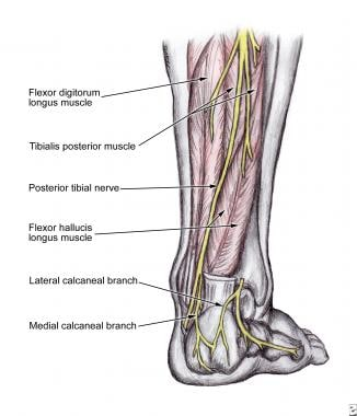 The posterior tibial nerve courses down the poster