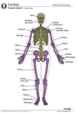 Axial and appendicular skeletal systems. Axial ske