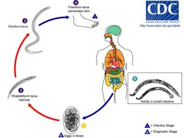 Life cycle of hookworm. Image courtesy of Division