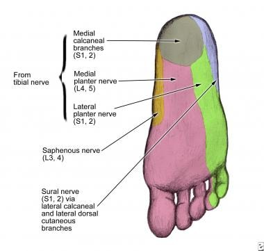 Cutaneous innervation by the medial and lateral br