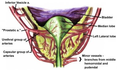 Blood supply to the prostate. Note the two main br