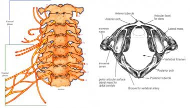 Cervical spine. Note uniquely shaped atlas and axi