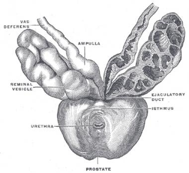 Anterior aspect of the seminal vesicles, terminal
