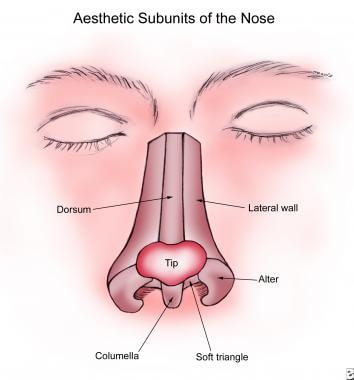 Aesthetic subunits of the nose.