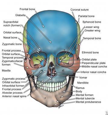 Skull, anterior view.