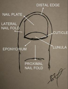 Nail Anatomy: Overview, Gross Anatomy, Nail Growth