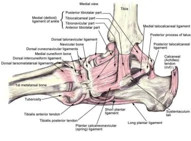 Medial ankle view showing the ligamentous anatomy