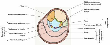 Compartments of leg: anterior, lateral, superficia
