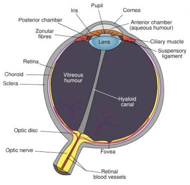 Schematic diagram of the human eye, with the fovea