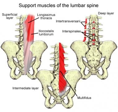 Lumbar spinal muscles.