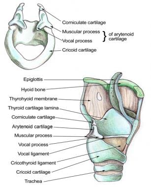 Larynx Anatomy Gross Anatomy Functional Anatomy Of The Larynx