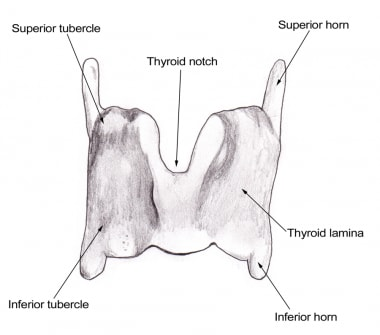 Larynx Anatomy: Gross Anatomy, Functional Anatomy of the Larynx ...
