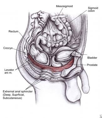 Levator ani muscle is shown in red. It includes il