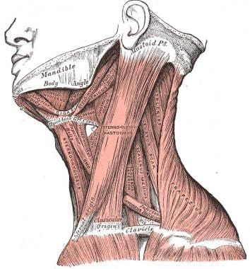 Anterior cervical muscles.