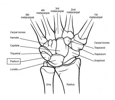 Bones of the wrist, enlarged view.