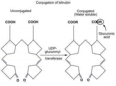 Conjugation of bilirubin.