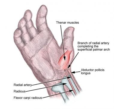 Anatomy of radial artery.