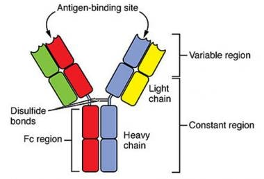 Normal immunoglobulin molecules consist of 2 pairs