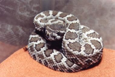 Juvenile southern Pacific rattlesnake (Crotalus or