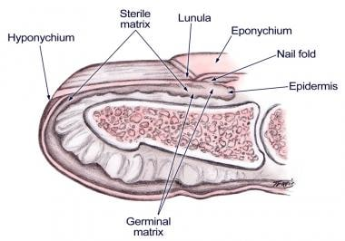 Nail bed anatomy figure 1.