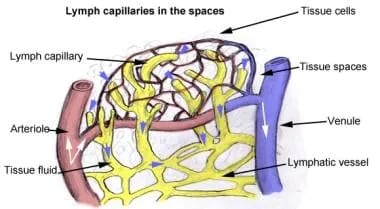 Lymph capillaries in spaces. Blind-ended lymphatic