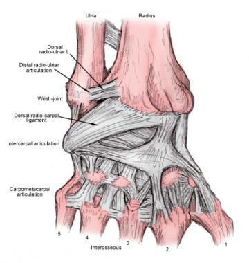 Volar carpal ligaments.
